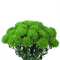 greentrickdianthus