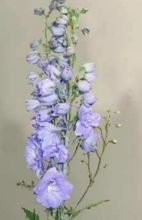 hybriddelphinium