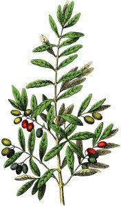 olive sept 30